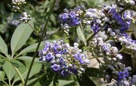 Deciduous shrub to 6 m; leaves palmately compound; leaflets linear lanceolate, entire, white tomentose beneath, glabrous above, to 10 cm long flowers blue to pink in spikelike panicles.