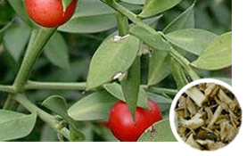 Evergreen shrubs plant that is a member of the lily family. The plant has rigid, branched, and spiny leaflike stems,which bear a greenish flower and red berries.